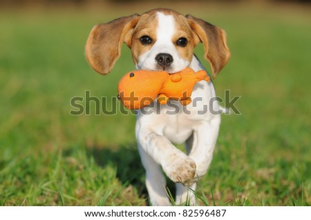 cute Beagle puppy 3 months running happy over the meadow - stock photo