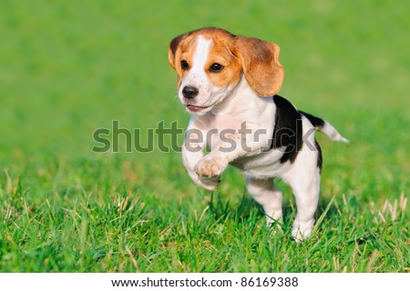 cute Beagle puppy 3 months running happy over the meadow