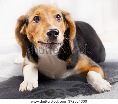 Cute beagle Puppy on a Blanket. Selective focus