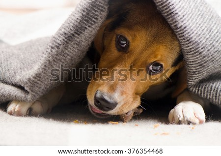 Cute Beagle puppy peeking out from under warm blanket. Selective focus - stock photo