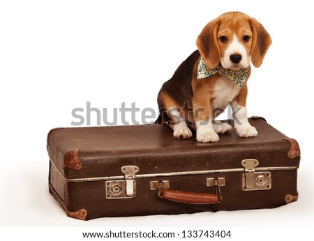 Cute beagle puppy sitting on the old suitcase - stock photo