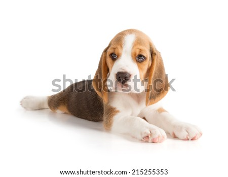 Cute Beagle Puppy (5 week old)