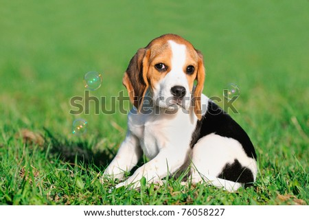 cute Beagle puppy 8 weeks sitting in grass with soap bubbles - stock photo