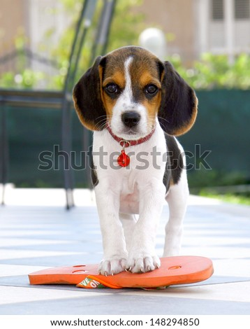 Cute Beagle puppy with flip flops on checkered flooring - stock photo