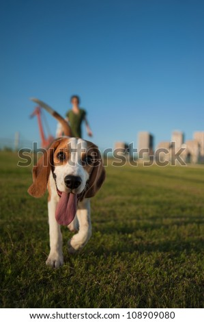 Cute Beagle Walking in a Grassy Park on a Beautiful Sunny Day - stock photo