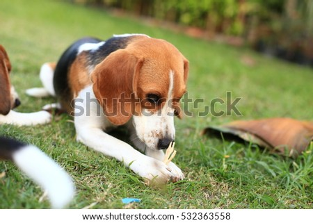 Cute Beagles playing in backyard