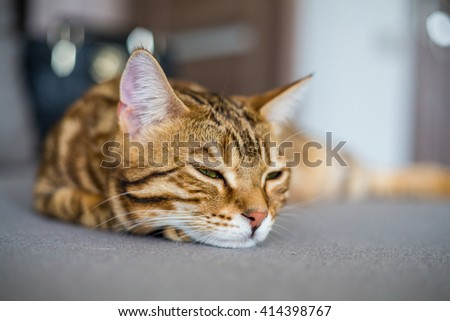 Cute beautiful bengal cat sleeping on the couch