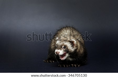 cute beautiful young ferret baby or weasel lick and yaws bored - stock photo