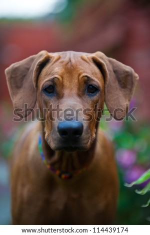 Cute beautiful young rhodesian ridgeback puppy portrait outdoors