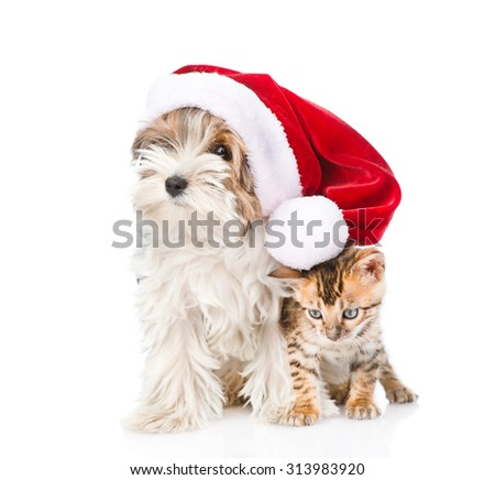 Cute Bengal cat and Biewer-Yorkshire terrier puppy with red santa hat. isolated on white background