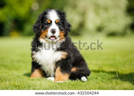 Cute Bernese Mountain Dog - stock photo