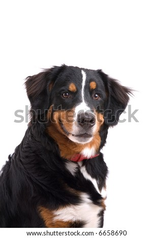 Cute Bernese mountain dog on white background