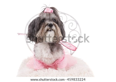 Cute Bichon Havanese dog, dressed up for Halloween like a fairy with wings, sitting on a chair. Isolated on white