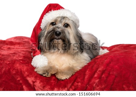 Cute Bichon Havanese dog in a Christmas - Santa hat is lying on a red velvet blanket. Isolated on a white background - stock photo