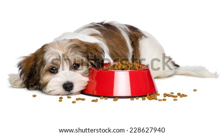 Cute Bichon Havanese puppy dog is lying beside a red bowl of dog food and looking at camera - isolated on white background - stock photo