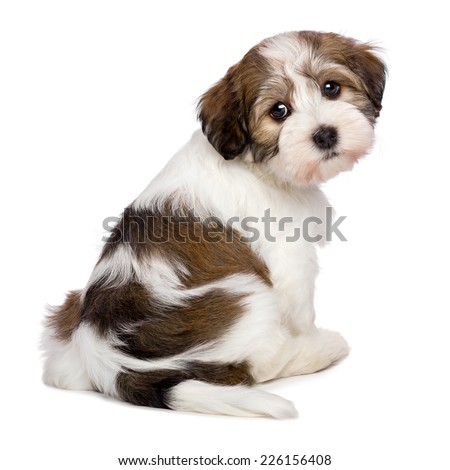 Cute Bichon Havanese puppy dog is sitting and looking at camera - photographed from behind, isolated on white background - stock photo