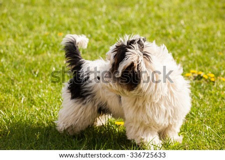 Cute Biewer yorki dog