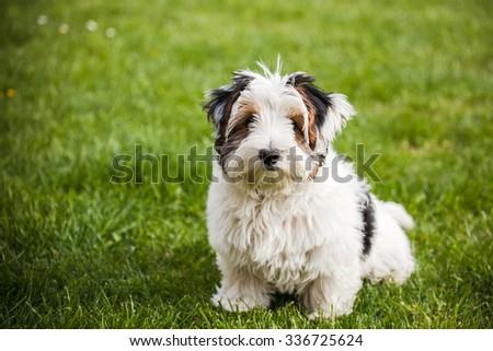 Cute Biewer yorki dog sitting in grass - stock photo