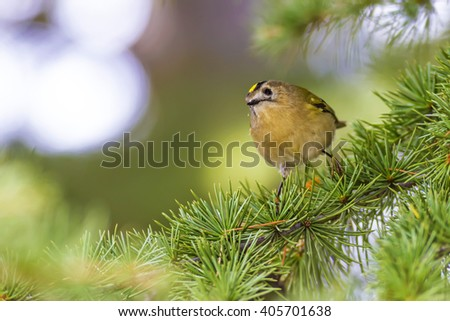 cute bird goldcrest  Goldcrest / Regulus regulus