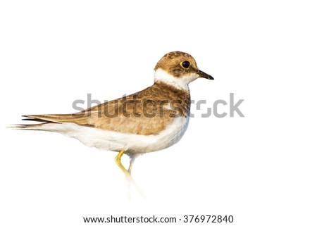 cute bird isolated on white Little Ringed Plover / Charadrius dubius - stock photo
