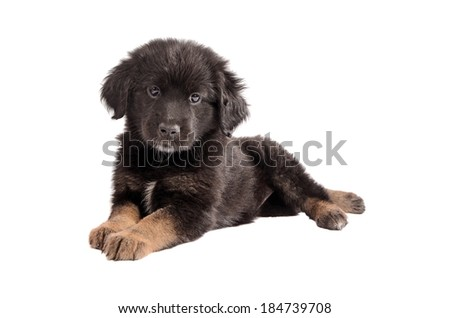 Cute black and brown mixed-breed puppy laying down - stock photo