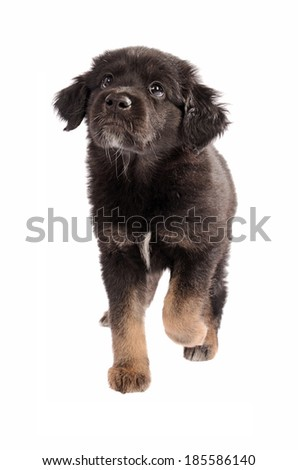 Cute black and brown mixed-breed puppy walking on white, looking up - stock photo