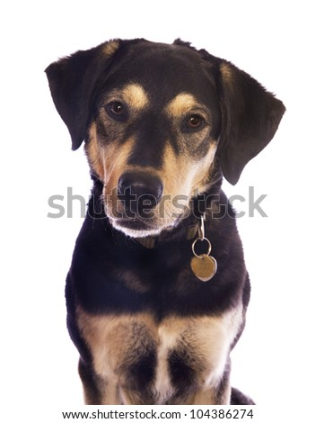 Cute black and tan dog with tags on collar head shot isolated on white - stock photo