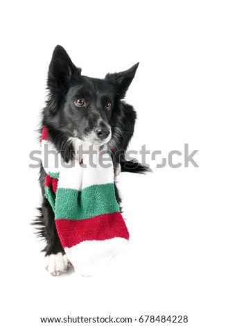 Cute Black and White Border Collie Dog in Christmas Holiday scarf  isolated on white looking at camera