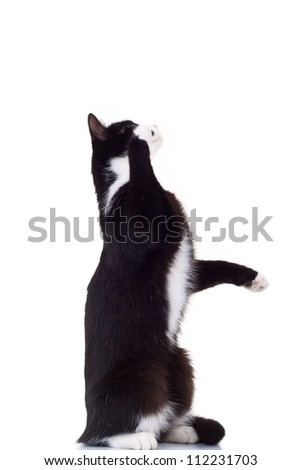 cute black and white cat standing on its hind legs reaching for something on white background