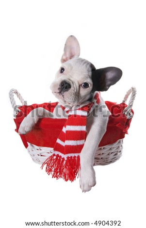 Cute black and white French bulldog puppy in red and white basket wearing scarf, isolated on white