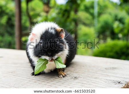 Cute, black and white guinea pig eats peppermint leaves / guinea pig / pet
