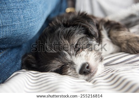 Cute Black and White Puppy in Bed with Owner  - stock photo