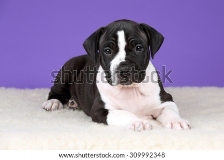 Cute black and white puppy on a purple background