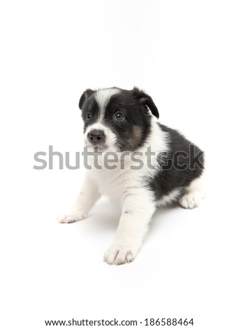 Cute Black and White Puppy on White Background - stock photo