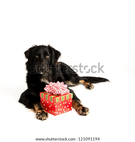 Cute Black Australian Shepherd Mix Dog on White Background with Red Christmas Present Box