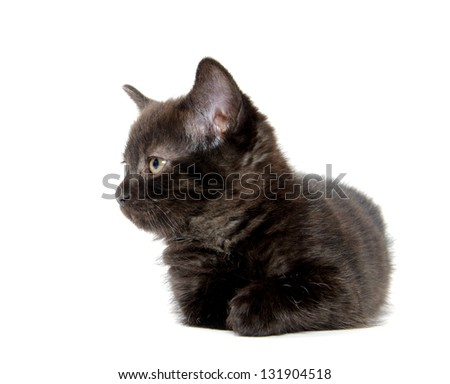 Cute black baby kitten laying down on white background