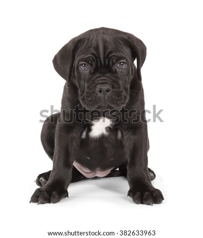 Cute Black Cane Corso puppy isolated on white background. Front view, sitting.