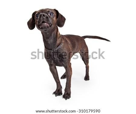 Cute black color Beagle and Chihuahua crossbreed dog with mouth open barking - stock photo