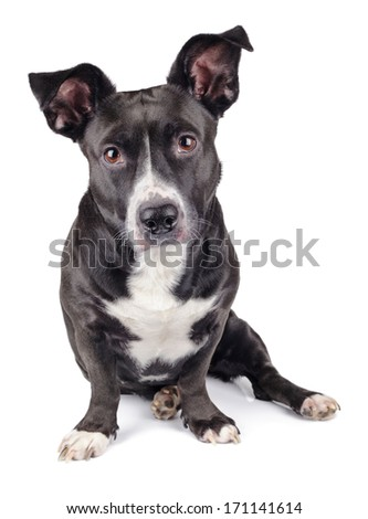Cute black dog looking at camera isolated on white background - stock photo