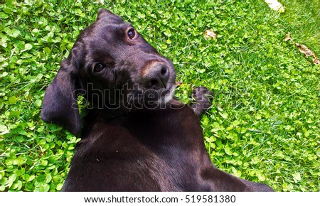 Popular Cute Black Adorable Dog - stock-photo-cute-black-dog-lying-on-a-grass-background-bright-color-photography-adorable-baby-labrador-519581380  Photograph_94650  .jpg