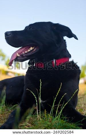 Cute Black Dog outdoors - stock photo