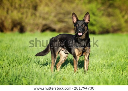 Cute black dog standing in the grass