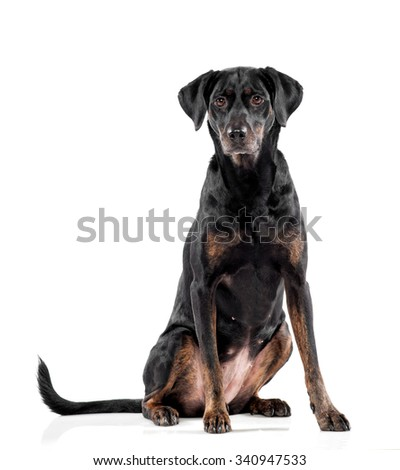 Cute black dog with tan markings sitting facing the camera with an alert curious expression, over white