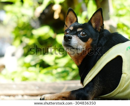cute black fat lovely miniature pinscher dog with brown dog eyes smiling face close up resting outdoor on a country house's garden floor portraits view with home surrounding background - stock photo