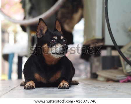 cute black fat lovely miniature pinscher dog with brown dog eyes smiling face close up resting outdoor on a country house's concrete garage floor portraits view