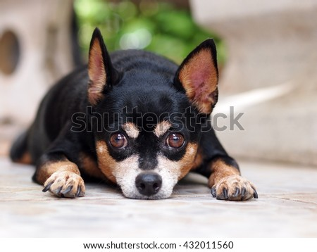 cute black fat lovely miniature pinscher dog with brown dog eyes smiling face close up resting outdoor on a country house's ceramic tiles garage floor portraits view - stock photo