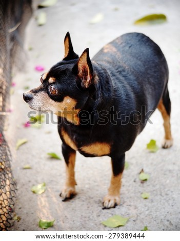 cute black fat lovely miniature pinscher dog with brown dog eyes with smiling face close up resting outdoor on a country house's concrete garage floor portraits view - stock photo