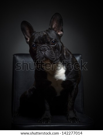 Cute black french buldog posing for camera on chair - stock photo