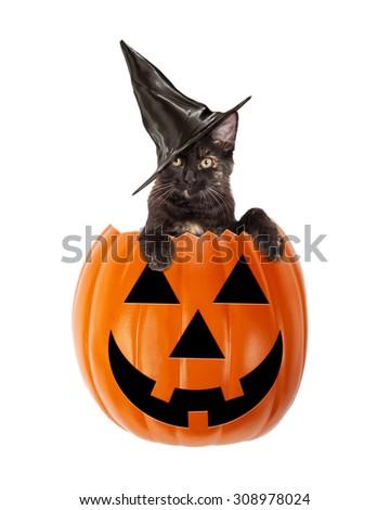 Cute black kitten wearing a black witch hat in a Halloween Jack-O-Lantern pumpkin - stock photo