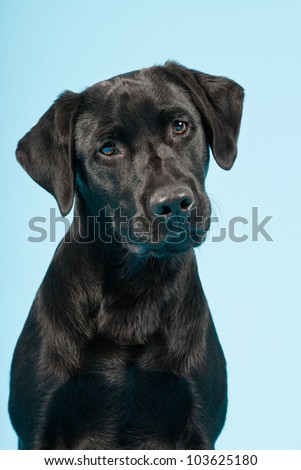 Cute black labrador retriever isolated on light blue background. Studio shot.